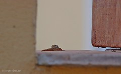 (KirstenDeLaet) Tags: vacation sun holiday france evening vakantie warm dof pentax reptile sigma salamander september lizard ii avond ricoh zon var wr k3 2014 reptiel 7020028 cavalire verlof hsm 24mp kirstendelaet