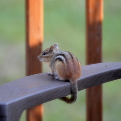 Studying The Next Move [Bancroft - 10 August 2014] (Doc. Ing.) Tags: wild summer ontario canada nature animals square countryside chipmunk northamerica bancroft on 2014