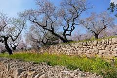 almond trees (Marlis1) Tags: trees prunusdulcis spring tortosacataluñaespaña panasonicfz1000 marlis1 pedraseca drywallconstruction trockenmauern