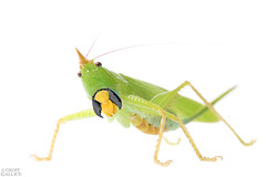 Katydid (ggallice) Tags: katydid tettigoniidae yasuninationalpark amazon rainforest jungle southamerica