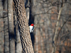 Woody Woodpecker (kbbrawley5) Tags: woodpecker redheadedwoodpecker woodywoodpecker bird persimmon loneelkpark stlouis stlouiscounty valleypark mo missouri midwest usa unitedstatesofamerica nikon d3200 sigma kurtbrawley