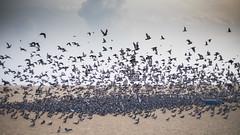 NIX_3161 (Nixson K) Tags: marinabeach chennai mychennai colors pigeons morningscenes