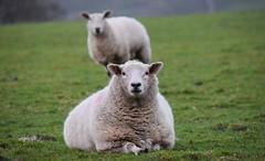 Sun bathing beauties (lisheeny) Tags: sheep farm life sleep snooze sun bathe texel cross