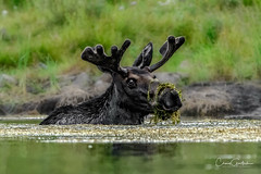 Delicious and Nutritious! (craig goettsch) Tags: moose bull antlers animal mammal wildlife nature lake green nikon d500 ngc