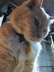 Norio from Below (sjrankin) Tags: 20february2017 edited animal cat norio closeup yubari hokkaido japan light backlighting