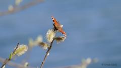 Tagpfauenauge (Aglais io) (Oerliuschi) Tags: schmetterling butterfly tagpfauenauge aglaisio falter tagfalter edelfalter augenflecken weidenkätzchen