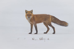 Red Fox Foggy Morning | Vulpes vulpes | Renard rouge (Paul B Jones) Tags: redfox vulpesvulpes renardrouge fournier ontario easternontario canada canoneos1dxmarkii ef800mmf56lisusm mammal animal canid nature wild wildlife white background snow