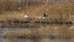 Ibis falcinelle (Plegadis falcinellus) (yann.dimauro) Tags: bouchesdurhône animaux bouche camargue delta faune gard mer méditerranée oiseau ornithologie plaine rhône yanndimauro
