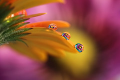 Line-up (Marilena Fattore) Tags: macro tamron 90mm colors water waterdrops droplet nature closeup focus petals flower reflection bokeh pastel flores softness orange yellow purple garden flora macrophotography onlyflowers