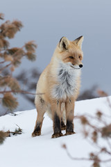 On a snow day (alexander.alechits) Tags: ©alexanderalechits canonef100400mmf4556lisiiusm canoneos7dmarkii sakhalin nature wildlife winter snow snowfall fox redfox сахалин зима снег лиса лисица