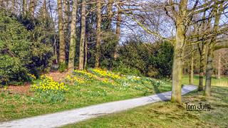 Spring is here! Daffodils in park De Breul, Zeist, Netherlands - 4866