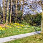 Spring is here! Daffodils in park De Breul, Zeist, Netherlands - 4866 thumbnail