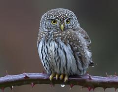 Northern Pygmy-Owl (shimmer5641) Tags: glaucidium northernpygmyowl pygmyowl birdofprey birdsofbritishcolumbia birdsofnorthamerica