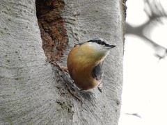 Nuthatch (PhotoLoonie) Tags: nuthatch bird wildbird nature wildlife spring avian