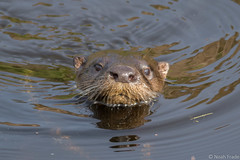 North American River Otter (Noah Frade) Tags: lontracanadensis riverotter florida otter canoneos7dmarkii canonef400mmf56lusm nature wildlife outdoors mammal yamatoscrub