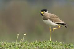 Morning exercise (nomane172) Tags: yellowwattledlapwing lapwing bird animal outdoor wildlife nature wildlifephotography naturephotography birdsofbangladesh dhaka bangladesh nikon nikond500 d500 tamron tamron150600mmg2 150600mmg2 ngc action morningexercise
