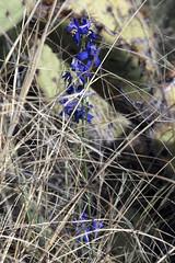Delphinium scaposum - Tall Mountain Larkspur (DonCrain) Tags: saguaronationalpark arizona delphinium