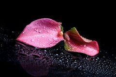 Together (Karen_Chappell) Tags: two 2 flower floral nature macro pink black water flowers waterdrops anthurium petal canonef100mmf28usmmacro stilllife