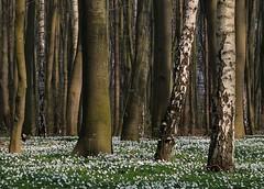 Blütenteppich aus Anemonen (Petra Runge) Tags: wald frühling natur frühblüher anemonen buschwindröschen weis nature forest wood springtime mecklenburgvorpommern outdoor