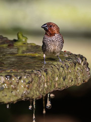 Scaly Breasted Munia outstanding in his bath bowl South Coast Botanic Garden 121 (pekabo90401) Tags: scalybreastedmunias spicefinch nutmegmannikin mannikin wesen bowlmonkey canon canon80d camaraderie 100400 lightroom southerncaliforniabirds southcoastbotanicgarden friendship birdwatching birdwatchinglosangeles munia introducedbird palosverdesbirds palosverdes birdbath water waterdrops rice bird ricebird
