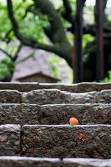 16/06/2014_day56 : plum fruit on a step in Mogusa (Chicaco11) Tags: macro japan 50mm tokyo plum sigma panasonic townscape hino f28 梅 階段 百草園 mogusa 京王百草園 chicaco11 dmcgx7