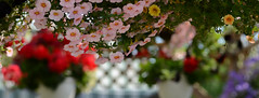 DSC_6852a (Fransois) Tags: flowers summer colors fleurs montral market bokeh couleurs joy t march joie marchjeantalon
