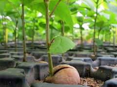 Oak Seedlings (Kristine Paulus) Tags: nursery greenbelt statenisland horticulture acorns nativeplants nycparks seedbank forestrestoration greenbeltnativeplantnursery nycdeptofparksrecreation oakseedlings greenbeltnativeplantcenter