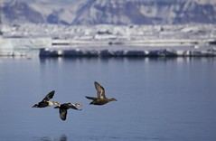 Flypast (Clare Kines Photography) Tags: canada ice birds duck north arctic waterfowl nunavut kingeider eider arcticbay somateriaspectabilis floeedge