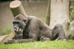 2014-06-07-14h27m41.BL7R9501 (A.J. Haverkamp) Tags: amsterdam zoo gorilla thenetherlands artis dierentuin dayo httpwwwartisnl dob18062008 canonef100400mmf4556lisusmlens pobamsterdamthenetherlands