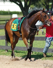 OBS June Undertack Show 2014 (Shazstock) Tags: horse black race grey bay mare sale farm auction racing chestnut stable colt stallion thoroughbred equine roan filly gelding