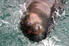 8 Oct. Clyde; Mission Bay's resident California Sea Lion (LisaBSkelton) Tags: california sea wild nature animal marina canon mammal clyde sandiego wildlife lion animalplanet missionbay resident pinniped 60d lisaskelton