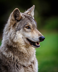 May 2014_45 (kdc123) Tags: new wild dog woods wolf nj jackson jersey wolves howling