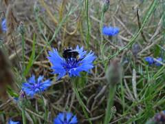 Germerode und die Mohnfelder (Ela2007) Tags: germany deutschland hessen kornblume biene hesse mohnfelder germerode