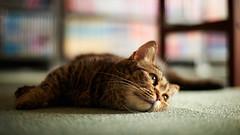 Misawo the Munchkin (rampx) Tags: japan zeiss cat general munchkin neko   miaw catcafe planart1450 zf2 misawo