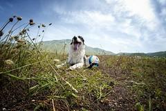 """Il riposo del campione (Carlo """"Granchius"""" Bonini) Tags: dog animals cane animali umbria montevettore castellucciodinorcia nikond300 parcodeisibillini samyang8mm"""
