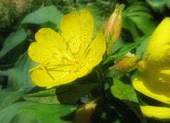 Yellow-Flower-Drops