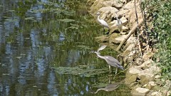 Aironi a pesca (ciminodelbufalo) Tags: nature birds uccelli