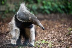 Marwell Wildlife: Giant Anteater (Harry_S) Tags: park ex zoo nikon wildlife sigma hampshire apo 28 fx f28 marwell dg d600 120300 120300mm
