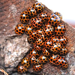 gable gathering (Ian Riley [on the right side of the fence]) Tags: urban bug crowd australia mob gathering ladybird adelaide spotted sa mass hiding common southaustralia hibernate bettle aggregation coccinellidae harmonia overwinter aggregated conformis