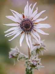 Berkheya purpurea (Tōn) Tags: flower macro nature berkeley flora asteraceae berkheyapurpurea arctotideae southafricanwildflower stobaeapurpureadc