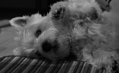 Tickles (music_man800) Tags: uk family light portrait bw dog pet white motion black cute art love kitchen monochrome animal contrast canon nose mono paw movement flickr floor artistic united creative westie adorable fluffy kingdom chrome tickles 700d