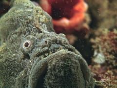 Frogfish (SeaLife Cameras) Tags: scuba scubadiving underwatercamera underwaterphotography sealifecamera sealifecamerascom sealifecameras sealifedc1400