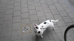 (fotokoci) Tags: street dog pet pets white black animal cane fur fun outside photo foto image walk background web streetphotography free canine images cc creativecommons use download gratis leash collar patches libre animale citta publicdomain passeggiata highquality macchie guinzaglio  norightsreserved copyrightfree nocopyright wtfpl cc0 dominiopubblico