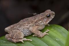 Ingerophrynus parvus IMG_1126 copy (Kurt (OrionHerpAdventure.com)) Tags: stream dwarf amphibian frog toad lesser herps herpetology amphibia bufonidae herpetofauna herping ingerophrynus ingerophrynusparvus lesserstreamtoad dwarfstreamtoad