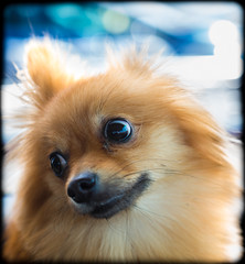 Boo the Pomeranian. (CWhatPhotos) Tags: pictures camera new portrait dog pet brown cute field animal digital pose that lens four photography prime town pom foto dof with view place image artistic pics dwarf district sandy picture pic olympus images boo have photograph fotos micro colored f18 pomeranian coloured which spitz depth 45mm fit contain 43 thirds pompom em10 mft peterlee esystem easington zwergspitz cwhatphotos thelittledoglaughedportraits dwarfspitz olympusem10 thelittledoglaughedstories zuikophotographs