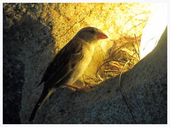 Haussperling, Sparrow, Moineau (v8dub) Tags: bird nid nature animal germany deutschland zoo am meer nest natur haus bio sparrow tierpark vgel allemagne oiseau bremerhaven tier moineau domesticus piaf spatz passer niedersachsen sperling haussperling biodiversit