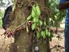 Mbirimbi (Philip.Shirk) Tags: fruit purpleflowers averrhoabilimbi cucumbertree couliferoustree mbirimbi