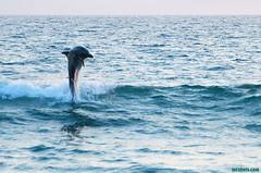 JumpingDolphins102 (mcshots) Tags: ocean california sea usa nature water animals jumping surf waves wildlife stock sealife surfing socal dolphins summertime breakers mcshots southbay mammals swells flipper fins marinemammals losangelescounty elporto