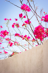 Climbing The Wall (Nolte Photo) Tags: flowers plants color colour wall canon mexico 50mm branch branches growth bajacaliforniasur thorns ef50mmf18ii cabosanlucas loscabos ef50mm 60d canoneos60d eos60d