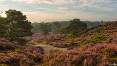 Early in the morning on the silent heath (BraCom (Bram)) Tags: morning trees summer holland green clouds canon landscape bomen sand groen mood purple widescreen foggy nederland thenetherlands wolken zomer heath 169 veluwe heide ochtend landschap zand paars mistig epe gelderland sfeer canonef24105mm bracom canoneos5dmkiii